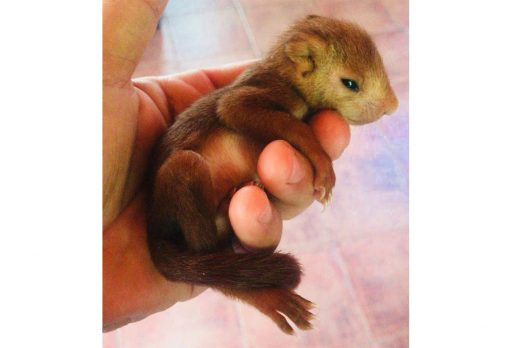 Túria - esquirol - farda - ardilla